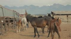 Horses on Montana breeding ranch Stock Footage