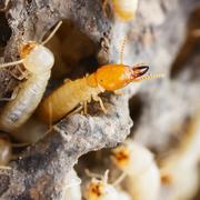Termites or white ants Stock Photos