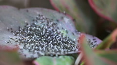 Ants moving the eggs. - stock footage
