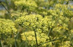 Anise plant - stock photo