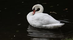 White swan preening on a background of dark water Stock Footage