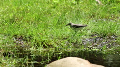 Spotted Sandpiper Feeding in Grassy Pond-side Stock Footage