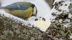 Eurasian blue tit (Cyanistes caeruleus)  pecks butter very close-up Stock Footage
