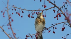 Thrush Fieldfare (Turdus pilaris) eats red berries in the spring sunshine Stock Footage