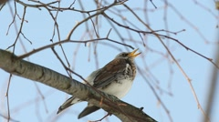 Thrush Fieldfare (Turdus pilaris) sitting on a branch and sings his song - stock footage