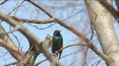 European starling or Common starling (Sturnus vulgaris)  sits on a branch Stock Footage
