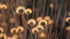 Swinging on wind dried flowers Stock Footage
