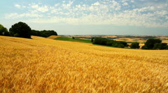 Ripe wheat in anticipation of the harvest. Stock Footage