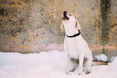 Barking labrador dog sitting outdoor in snow, winter season Kuvituskuvat