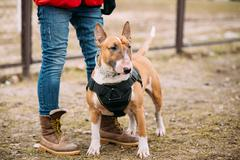 Bull terrier Dog Portrait At Green Grass. Other names - Bully, T - stock photo