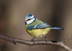 Eurasian blue tit (Cyanistes caeruleus) Stock Photos
