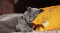 British gray cat sleeps - stock footage