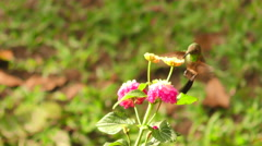 Hummingbird Hovering A Bright Red Flower Stock Footage