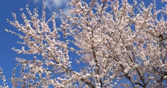 White Cherry Plum Tree Flowers Blossom Stock Footage