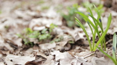 Snowdrops in the Forest - stock footage