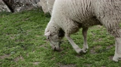 Ewe Lamb is Hungrily Nibbling the Grass. 4k Stock Footage