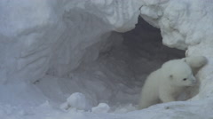A white bear cub goes out from a lair (flat) Stock Footage
