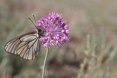 Butterfly on a purple flower - stock photo