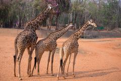 giraffe (giraffa camelopardalis) - stock photo