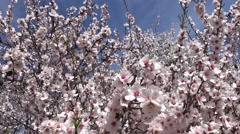 White almond flowers and bees Stock Footage