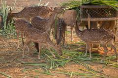 Chital, Cheetal, Spotted deer, Axis deer eating - stock photo