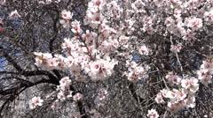 Panning almond tree garden in bloom Stock Footage