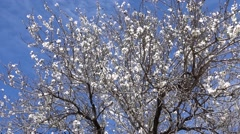 Stock Video Footage of Almond tree in white flowers