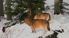 4K footage of Gray Wolves in the Bayerischer Wald National Park, Germany Stock Footage