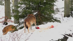 4K footage of a Gray Wolf in the Bayerischer Wald National Park, Germany Stock Footage