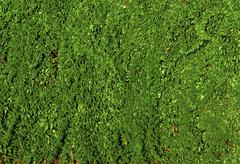 A lot of green ivy hedge creeper on cement wall Stock Photos