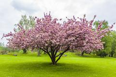 Beautiful sakura tree in the park Stock Photos