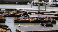 Pier 39 - the famous sea lion spot  in San Francisco, California - stock footage