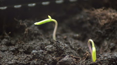 Two tomato sprout unfolding into the light Stock Footage