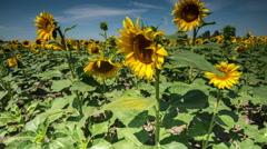 Sunflowers timelapse slider move Stock Footage
