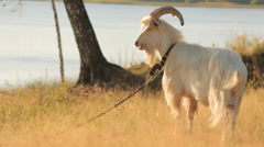 Beautiful goat with long horns and a beard grazes on meadow against the backg Stock Footage