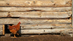 Chickens in a wooden chicken coop - stock footage