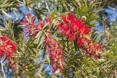 Callistemon citrinus, Melaleuca citrina Stock Photos