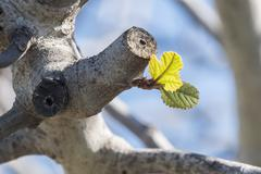 Outbreaks of fig in spring Stock Photos
