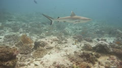 Reef shark swims in slow motion swims past scientific research diver Stock Footage