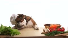 English Bulldog as a chef standing at the table and eating - stock footage