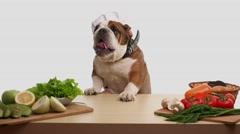 English Bulldog as a chef - stock footage