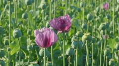 Agriculture, blooming poppy flower and green cocoons Stock Footage