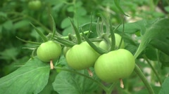 Ripening tomatoes in a greenhouse - stock footage