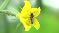 A bee on a flower in a greenhouse cucumber - stock footage
