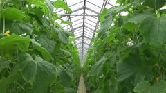 Greenhouse ogurtsov.leaves Stock Footage