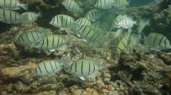 Herbivorous Fish - Convict Surgeonfish grazing Stock Footage