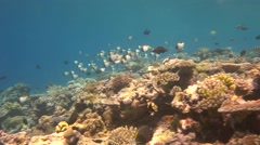Pyramid Butterflyfish school dance in clear water over coral Stock Footage