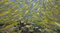 Thousands of yellow goatfish fill frame and turn majestically in slow motion Stock Footage
