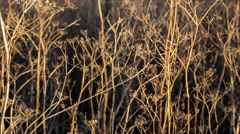 Withered seeds of wild dill on the wind Stock Footage
