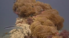 Scorpionfish camouflage appears from behind reef - stock footage